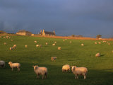 Flock of Sheep and Farmouse in Scottish Countryside, Scotland, United Kingdom, Europe Photographic Print by James Gritz