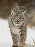 Bobcat in Snow, Near Bozeman, Montana, United States of America, North America Photographic Print by James Hager