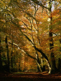 Beech Trees in Autumn Foliage in a National Trust Wood at Ashridge, Buckinghamshire, England, UK Photographic Print by Nigel Francis