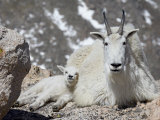 Mountain Goat Nanny and Kid, Mount Evans, Colorado, USA Photographic Print by James Hager
