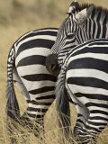 Common Zebra or Burchell's Zebra, Masai Mara National Reserve, Kenya, East Africa Photographic Print by James Hager