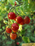Close-Up of a Truss of Red and Ripening Vine Tomatoes on a Tomato Plant Photographic Print by Michelle Garrett
