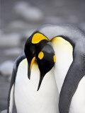 King Penguin Pair Pre-Mating Behaviour, Salisbury Plain, South Georgia Photographie par James Hager