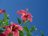 Pink Hibiscus Flowers, Bermuda, Central America Photographic Print by Robert Harding