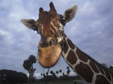 Giraffe, Africa Photographic Print by James Gritz