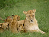Lioness and Cubs, Masai Mara National Reserve, Kenya, East Africa, Africa Photographic Print by Robert Harding