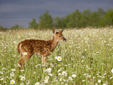 Captive Whitetail Deer Fawn Among Oxeye Daisies, Sandstone, Minnesota, USA Photographic Print by James Hager