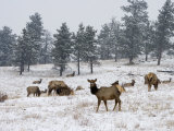 Elk Herd, Flagstaff Mountain, Colorado, United States of America, North America Photographic Print by James Gritz