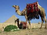 Camels at the Giza Pyramids, Giza, Cairo, Egypt, North Africa, Africa Photographic Print by Dominic Harcourt-webster