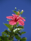 Pink Hibiscus Flower, Bermuda, Central America Photographic Print by Robert Harding