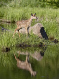 Whitetail Deer Fawn with Reflection, in Captivity, Sandstone, Minnesota, USA Photographic Print by James Hager