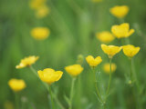 Buttercups Photographic Print by Lee Frost