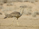 Kori Bustard, Kgalagadi Transfrontier Park, South Africa Photographic Print by James Hager