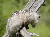 Opossum Mother and Babies, in Captivity, Sandstone, Minnesota, USA Photographic Print by James Hager