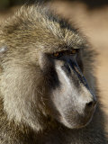 Olive Baboon, Samburu National Reserve, Kenya, East Africa, Africa Photographic Print by James Hager