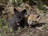 Red Fox Kits, One Black Phase, in Captivity, Animals of Montana, Bozeman, Montana, USA Lámina fotográfica por James Hager