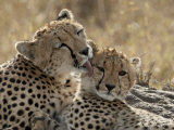 Cheetah Mother and Cub, Masai Mara National Reserve, Kenya, East Africa, Africa Photographic Print by James Hager