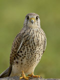 Female Common Kestrel, Serengeti National Park, Tanzania, East Africa, Africa Photographic Print by James Hager