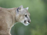 Mountain Lion, in Captivity Sandstone, Minnesota, USA Photographic Print by James Hager