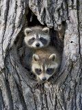 Two Baby Raccoon in a Tree, in Captivity, Sandstone, Minnesota, USA Fotografisk tryk af James Hager