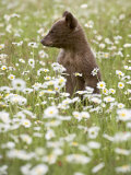 Black Bear Cub Among Oxeye Daisy, in Captivity, Sandstone, Minnesota, USA Photographic Print by James Hager