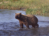 Grizzly Bear, Katmai, Alaska, United States of America, North America Photographic Print by James Gritz