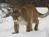 Mountain Lion or Cougar in Snow, Near Bozeman, Montana, USA Photographic Print by James Hager