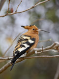 African Hoopoe, Kruger National Park, South Africa, Africa Photographic Print by James Hager