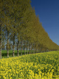 Line of Trees on the Edge of a Rape Field in the United Kingdom, Europe Photographic Print by Nigel Francis
