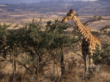 Giraffe Feeding, Kenya, East Africa, Africa Photographic Print by James Gritz