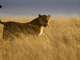 Young Male Lion in Early Light, Masai Mara National Reserve, Kenya, East Africa Photographic Print by James Hager