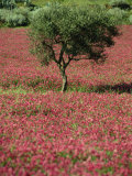 Wild Clover Flowers in an Olive Grove at Misilmeri, on the Island of Sicily, Italy, Europe Photographic Print by Newton Michael