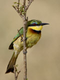 Little Bee-Eater, Masai Mara National Reserve, Kenya, East Africa, Africa Photographic Print by James Hager
