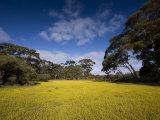 Flowers in Meadow, Flinders Chase National Park, Kangaroo Island, South Australia, Australia Photographic Print by Milse Thorsten