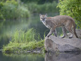 Mountain Lion or Cougar, in Captivity, Sandstone, Minnesota, USA Photographic Print by James Hager