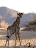 Young Desert Giraffe, Namibia, Africa Photographic Print by Milse Thorsten