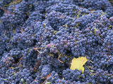 Sangiovese Grapes, Chianti, Tuscany, Italy, Europe Photographic Print by Newton Michael