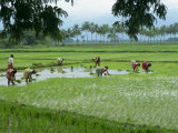 Workers in the Rice Fields Near Madurai, Tamil Nadu State, India Photographic Print by Robert Harding
