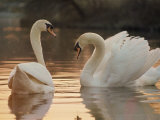 Two Swans on Water Fotografie-Druck von Robert Harding