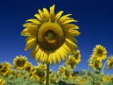 Close-Up of Sunflower in a Field of Flowers in Tuscany, Italy, Europe Photographic Print by Gavin Hellier