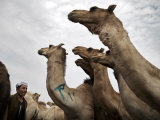 Birqash Camel Market, Cairo, Egypt, North Africa, Africa Photographic Print by Mcconnell Andrew