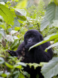 Mountain Gorilla Eating Leaves, Rwanda, Africa Photographic Print by Milse Thorsten