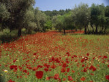 Wild Flowers Including Poppies in a Grove of Trees, Rhodes, Dodecanese, Greek Islands, Greece Photographic Print by Miller John