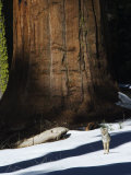 Coyote Dwarfed by a Tall Sequoia Tree Trunk in Sequoia National Park, California, USA Photographic Print by Kober Christian