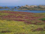 Wild Flowers on the Shore and the Rocky Coast of the Ile D'Ouessant, Finistere, Brittany, France Fotografisk trykk av Miller John
