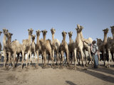 Camel Traders at the Early Morning Livestock Market in Hargeisa, Somaliland, Somalia, Africa Photographic Print by Mcconnell Andrew