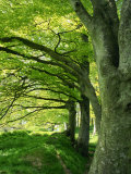 Line of Beech Trees in a Wood in Spring Photographic Print by Lightfoot Jeremy
