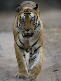 Dominant Male Indian Tiger, Bandhavgarh National Park, Madhya Pradesh State, India Photographic Print by Milse Thorsten