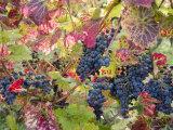 Autumn Grapes and Vines, Denbies Vineyard, Dorking, Surrey, England, United Kingdom, Europe Fotografisk trykk av Miller John