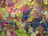 Autumn Grapes and Vines, Denbies Vineyard, Dorking, Surrey, England, United Kingdom, Europe Photographic Print by Miller John